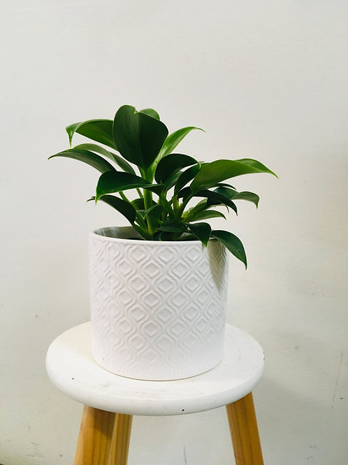Imperial Green Philodendron Selloum Small