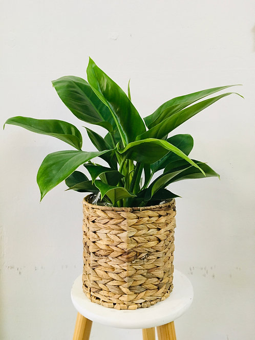 Imperial Green Philodendron Selloum
