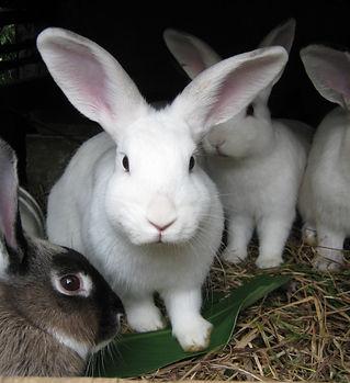 Conejos_en_una_conejera.jpg