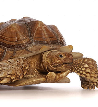 48454-African-Spurred-or-Sulcata-Tortois