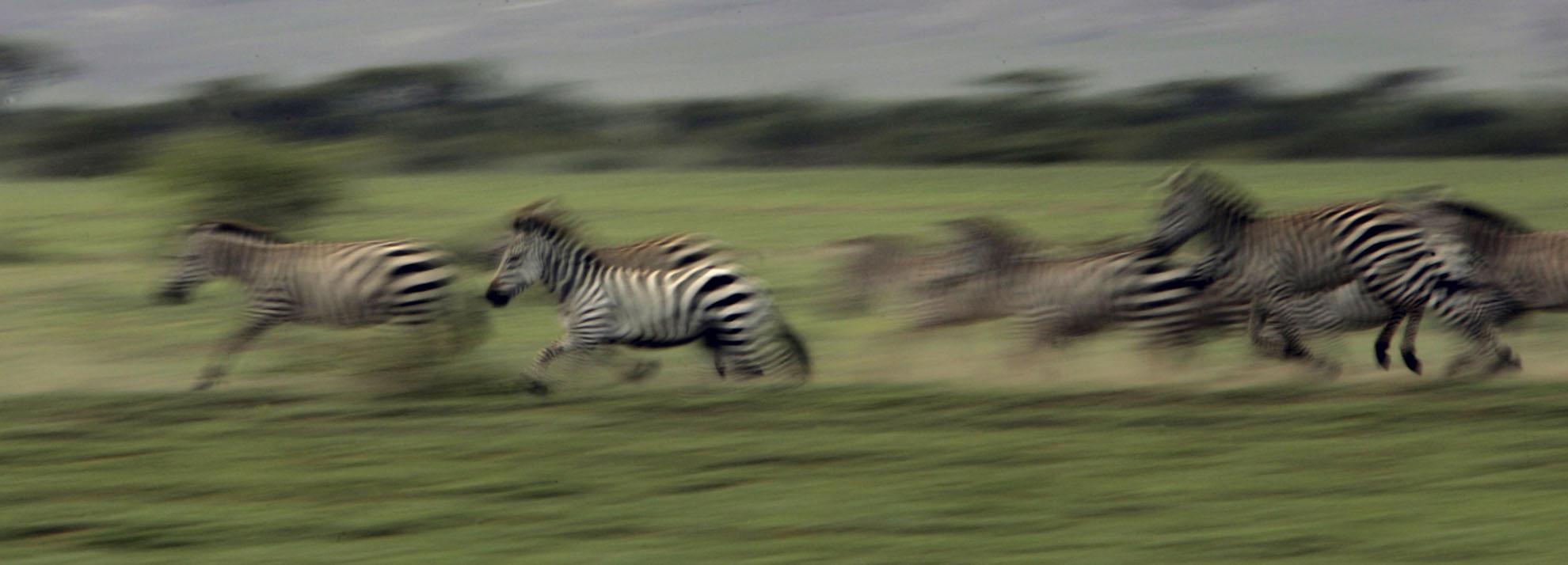 Zebras, Tanzania