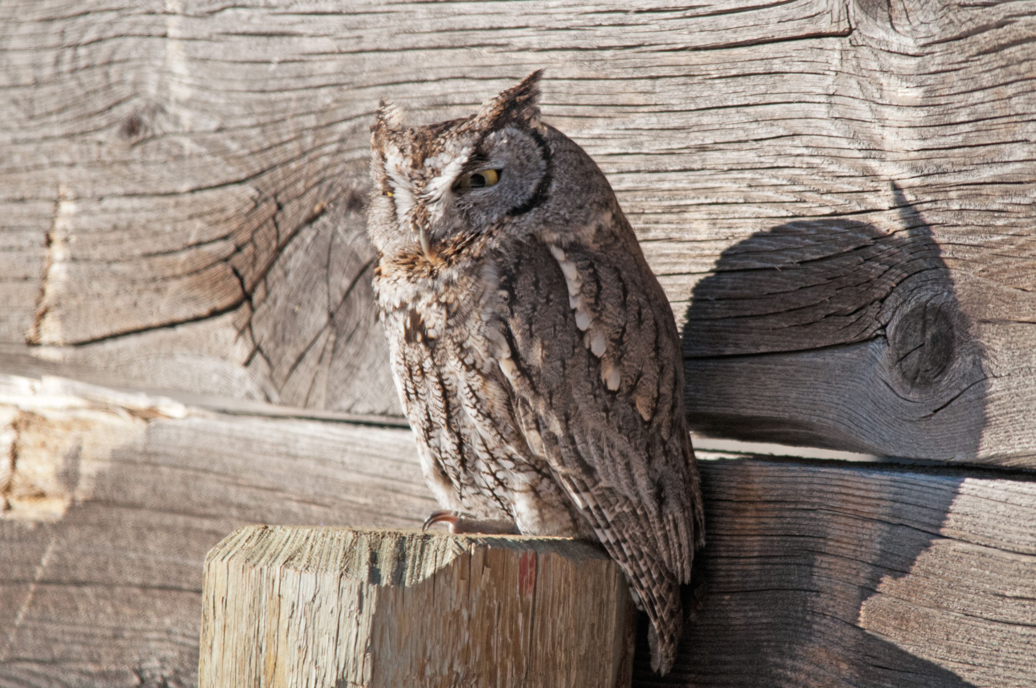Western-Screech Owl 010216 B.jpg