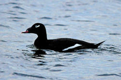 White-winged Scoters 102716 A.jpg