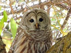 Barred Owl WS 10-19-13 A.jpg
