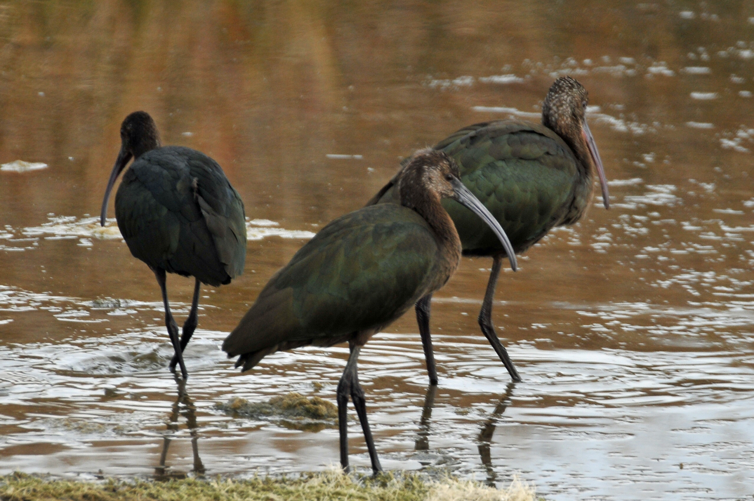 White-faced Ibis 101913.jpg