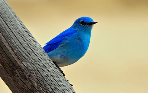 bluebird on a fence.jpg