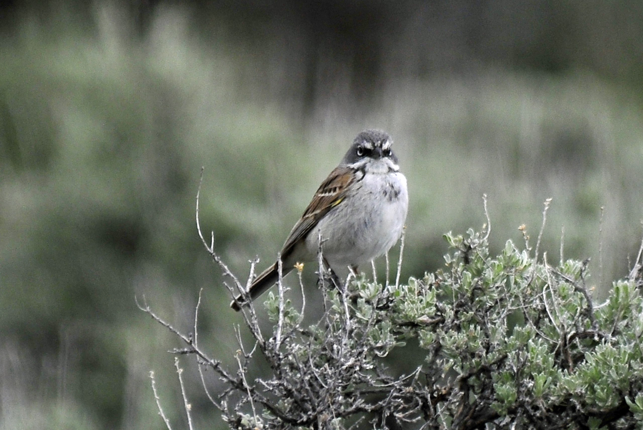 Sagebrush Sp.jpg