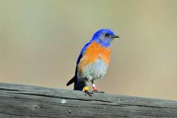 Western Bluebird male 033117.jpg