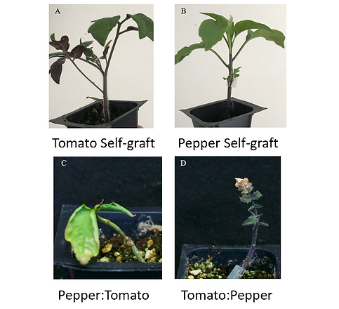 sqaure grafted plants.PNG