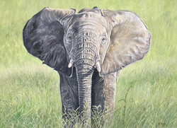 Baby Elephant  - Colour Pencil