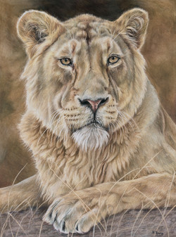 Lioness - Colour Pencil