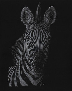 Zebra - White Colour Pencils