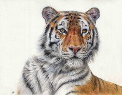 Tiger - Colour Pencil