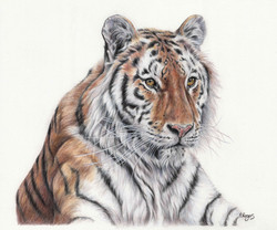 Tiger - Colour Pencils
