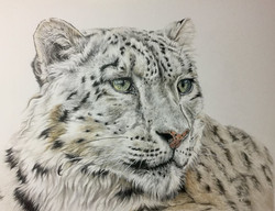 Snow Leopard - Colour Pencils