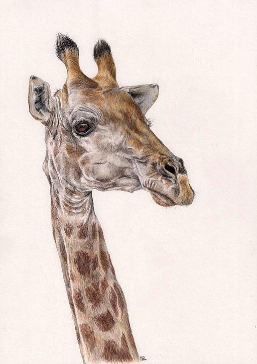 Giraffe - Colour Pencils