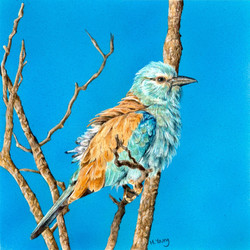 European Roller - Acrylic & Colour Pencils