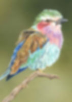 Lilac Breasted Roller pencil_edited-1.jp