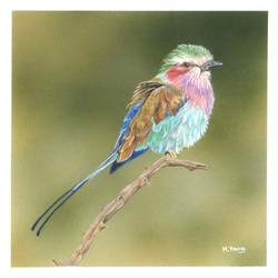 Lilac Breasted Roller - Acrylic & Colour Pencils