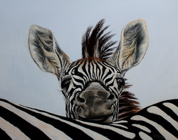 Baby Zebra - Oils