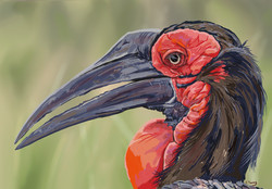 Ground Hornbill - Digital