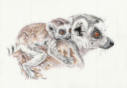 Lemurs - Colour Pencils