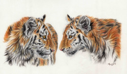 Amur Tiger Cubs - Colour Penils