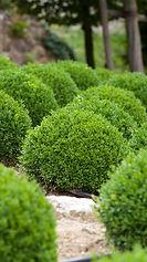 Boxwood bush trimming,  berks county, Pennsylvania.