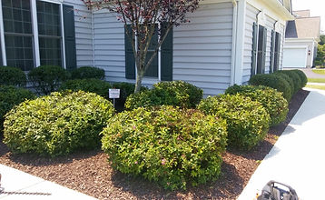 Sprea bush trimming, berks county, Pennsylvania.