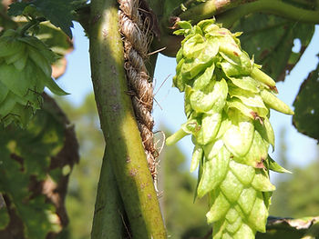 Fresh Hops | Craft Beer