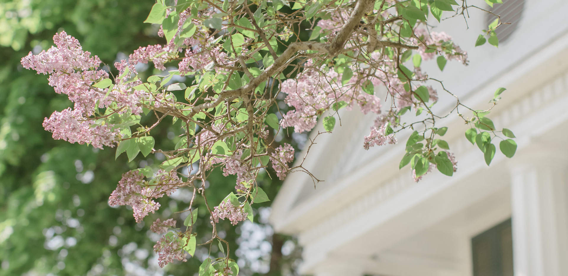 The lilacs in June