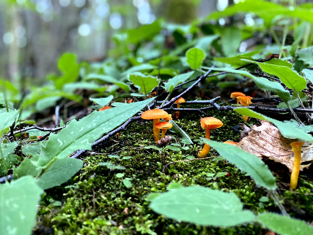 fairy mushrooms