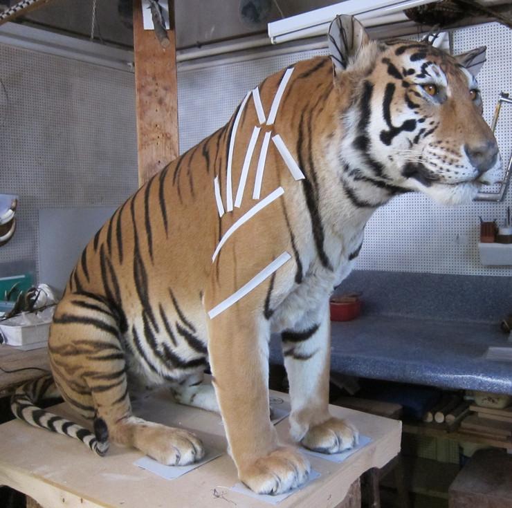 Tigre en séchage 2
