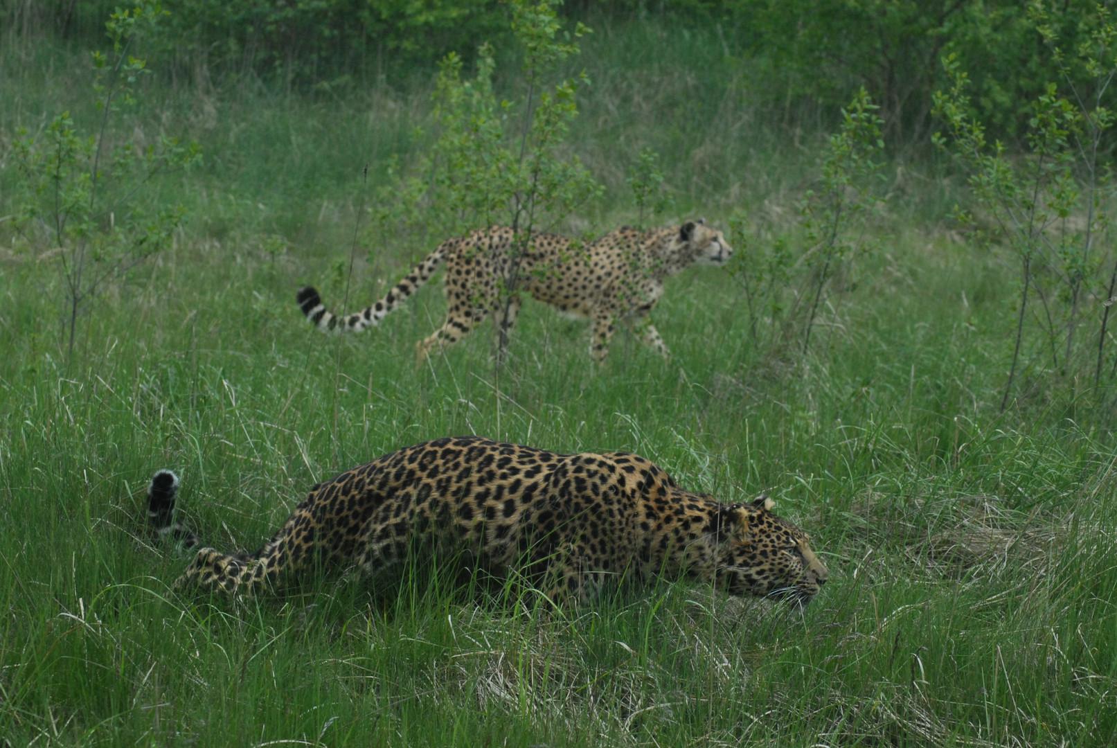 Panthère et guépard chassant