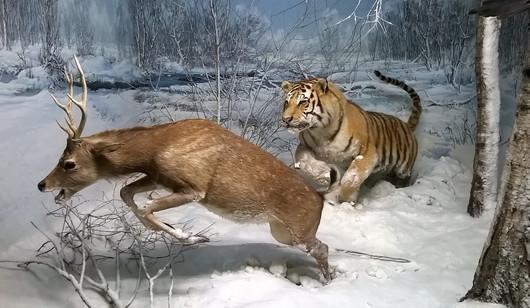 Tigre chassant un cerf (museum de Milan)