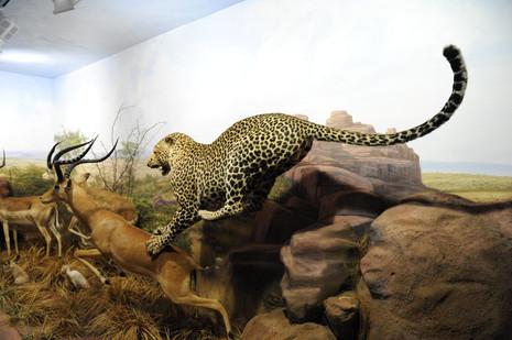 Panthère chassant au musée de la faune sauvage de Valdehuesa (Espagne)