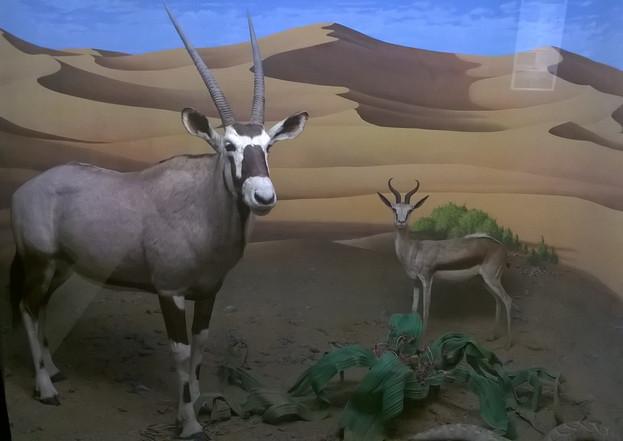Oryx et Springbok (museum de Milan)