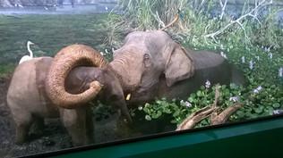 Éléphant d'Asie avec son petit (museum de Milan)