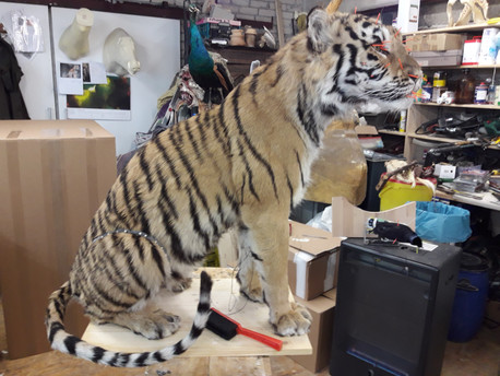 Tigre en séchage
