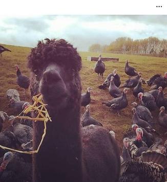 organic free range turkeys bronze monmou