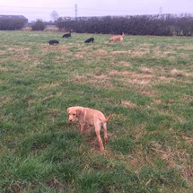 Working dogs off the lead looking for rabbits!