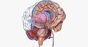 anatomy-3d-models-download-3d-anatomy-fi