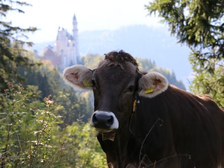 Nicht lila, aber Original-Alpen-Kuh & weitere beeindruckende Königswinkel-Fotografien