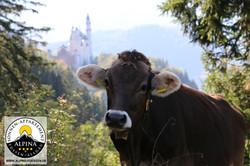Nicht lila, aber original Alpen-Kuh!