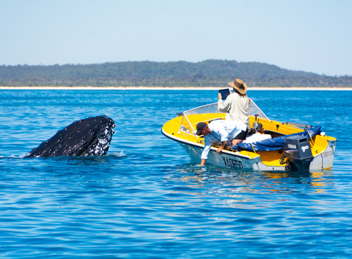 Fraser Island, an oasis for humpback whales!