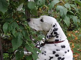HOME   dalmatianclubcanada