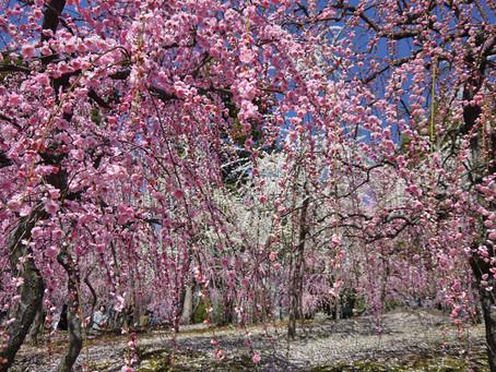 城南宮「しだれ梅と椿まつり」