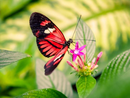IELTS Reading Revision – The Butterfly Life Cycle
