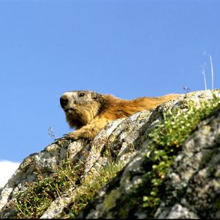 marmotte.tif