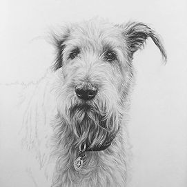 Nearly there with Fred the Irish terrier